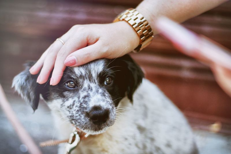 Puppy Petting Love Cute Outside One Animal Domestic Pets Mammal Dog Domestic Animals Canine Human Hand Hand Human Body Part One Person Vertebrate Focus On Foreground Close-up Indoors  Day Portrait Pet Owner Border Collie EyeEmNewHere