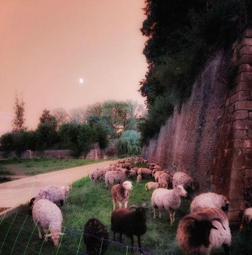 Moutons en
