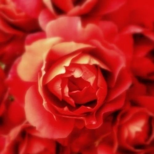 bBeauty Is As Beauty Does Doin Flowers Flowers Red Rose