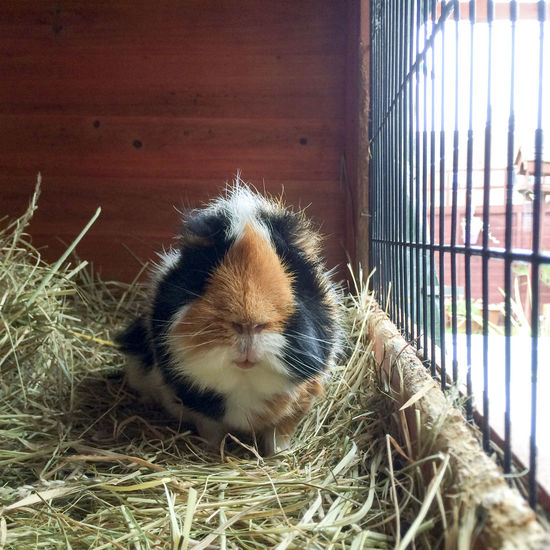 Guinea Pig in his cage Alertness Animal Animal Hair Animal Head  Animal Themes Animals Posing Cavy Cuddly Curiosity Cute Cute Pets Domestic Animals Friend Friendly Guinea Pig Guineapig Mammal One Animal Pet Pets Posing Relaxation Relaxing Rodent Zoology