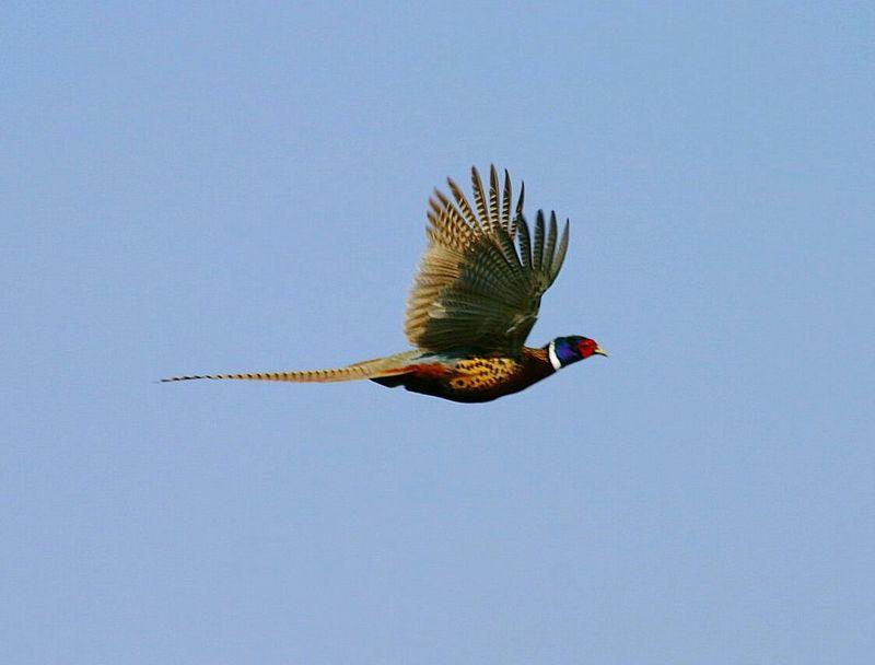 Pheasant Pheaseant Hunting Pheasant Feathers Pheasants Pheasants Forever ~ Bird In Flight Bird Photography Birdwatching Flight Game Birds