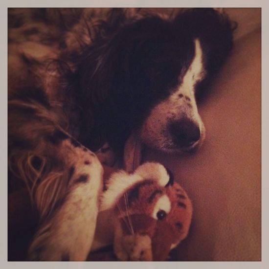 Setter Anglais English Setter Dog Sleeping Dog