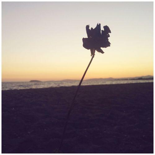 Sahilin kenarinda kuma gömülmüş sekilde solmuş gül gördüm ve hemen fotoğrafını çekmek istedim