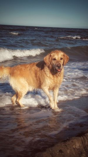 EyeEm Best Shots EyeEm Nature Lover EyeEm Pets EyeEm Deutschland EyeEm Dog Lover Golden Retriever Golden Retriever In The Water My Best Friend EyeEm New Here Water Wave Pets Sea Beach Swimming Dog Sand Sunset Retriever