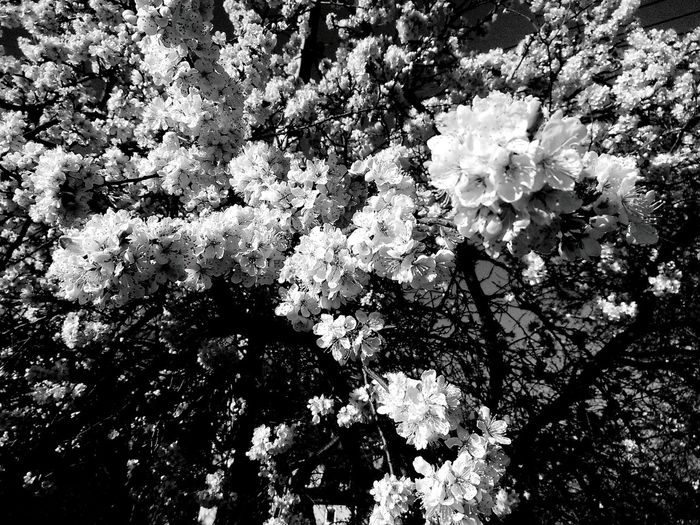 Tree Nature Growth Flower No People Beauty In Nature Fragility Freshness Blackandwhite Tenderness Beauty
