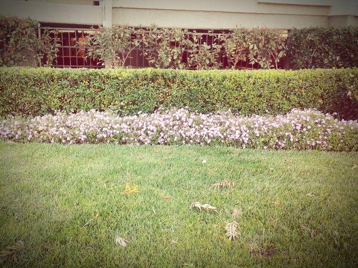 Beutiful purple flower bushes!! OMG So Pretty!! Pretty