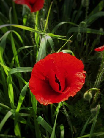 Flower Petal Growth Beauty In Nature Nature Red Fragility Flower Head Plant Freshness Blooming No People Field Poppy Day Outdoors Close-up Grass