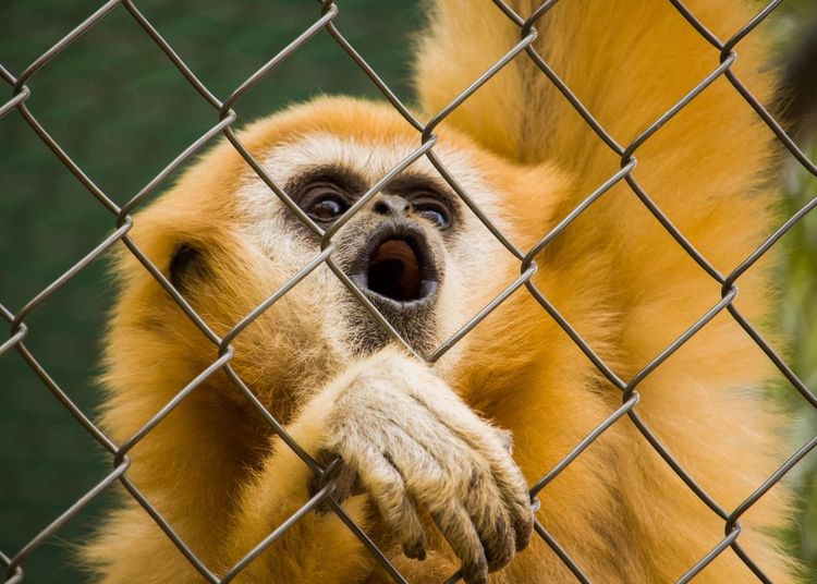 Zoo Chainlink Fence Mammal One Animal Cage Animal Themes Dog Pets Outdoors Monkey No People Close-up Animal Wildlife Day Portrait Nature EyeEmNewHere