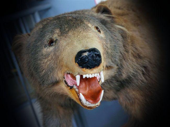 Close-up of bear growling. Animal Body Part Animal Head  Bear Close-up Focus On Foreground Kuma No People Selective Focus