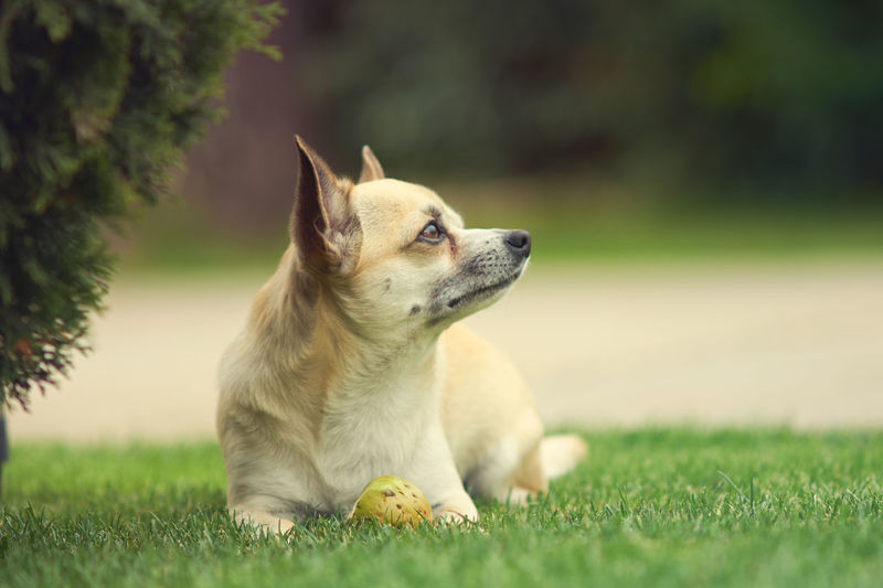 Close-Up Of Chihuahua Looking Away While Sitting On Grassy Field At Park