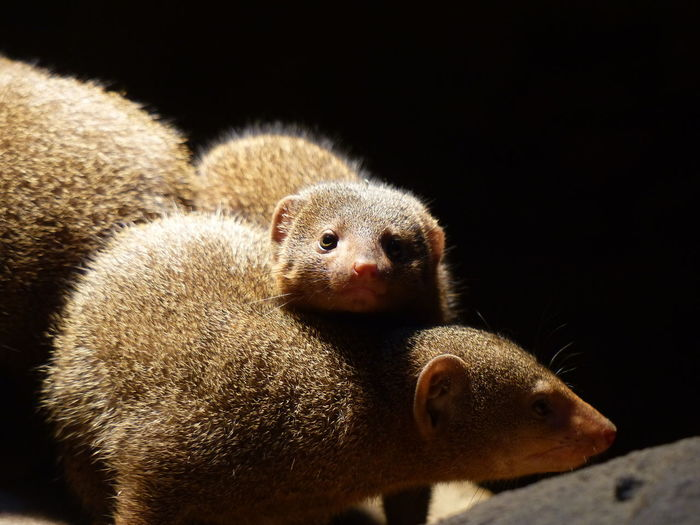 View Of Mongoose Against Black Background