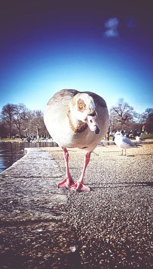I'm coming for you Goose Duck Hyde Park London Colourful Water Bayswater Sky No People Day Outdoors Nature Close-up