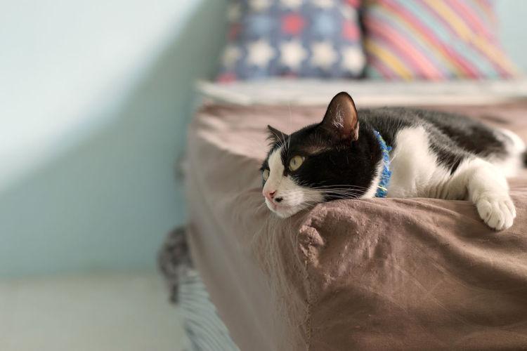 lazy cat lying
