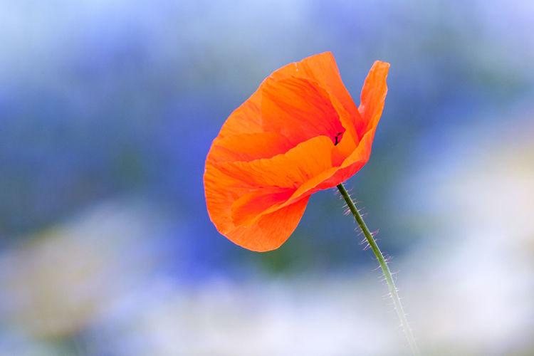 Close-up of orange poppy