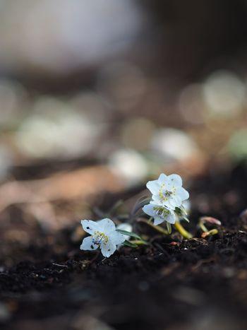 さあ、立ち上がれ。 Olympus OM-D E-M5 Mk.II Eranthis Flower Fragility Growth Petal Selective Focus Freshness Close-up Flower Head Day Blooming
