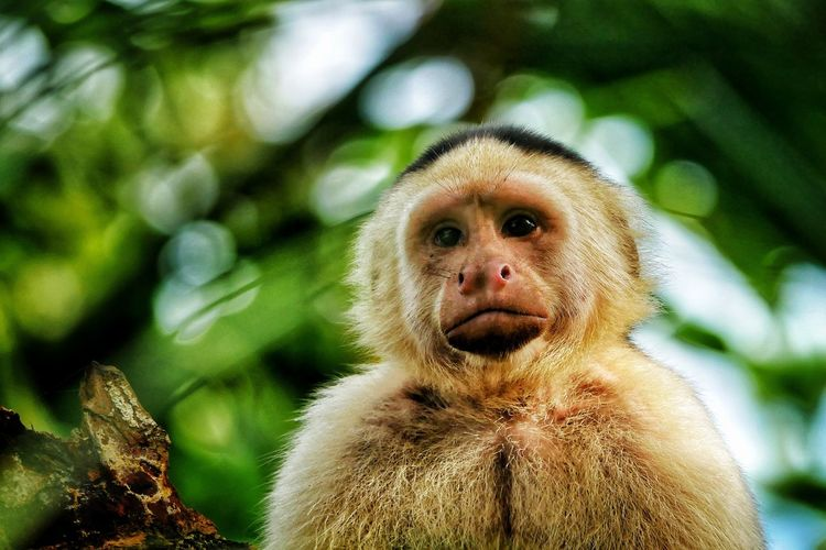 Close-up portrait of a cappuchin monkey on tree in forest