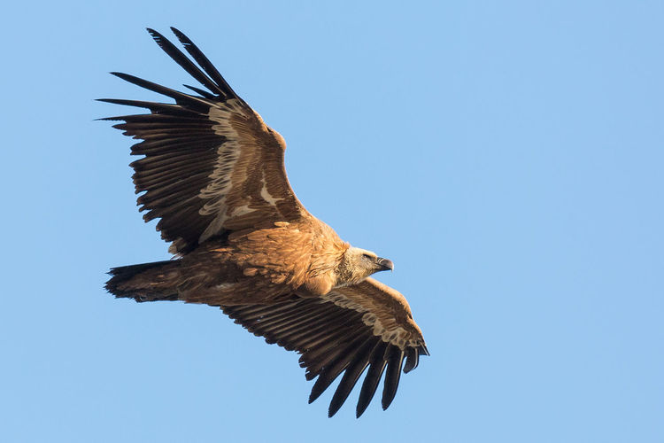 Low angle view of griffon vulture flying against clear blue sky