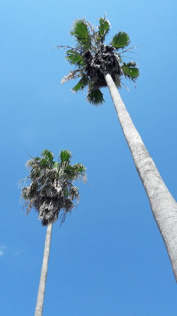Palms for a friend 🌴🌴 Palm Tree Tree Sky Blue Clear Sky Day Low Angle View No People Outdoors Nature Nature Growth Beauty In Nature Tree Eye Em Nature Lover Popular Photos Naturelover Sunlight