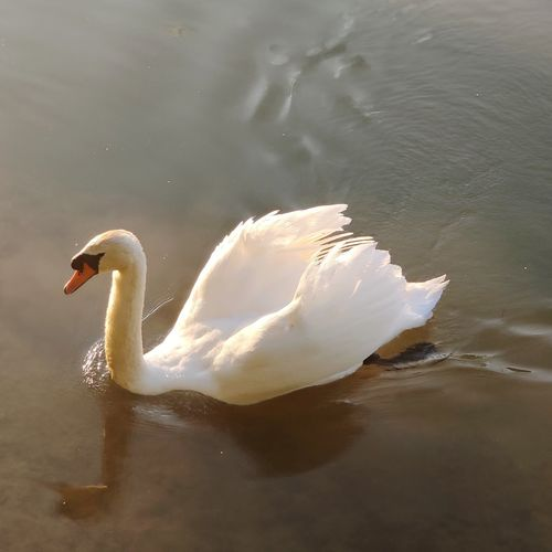Swan floating in a lake
