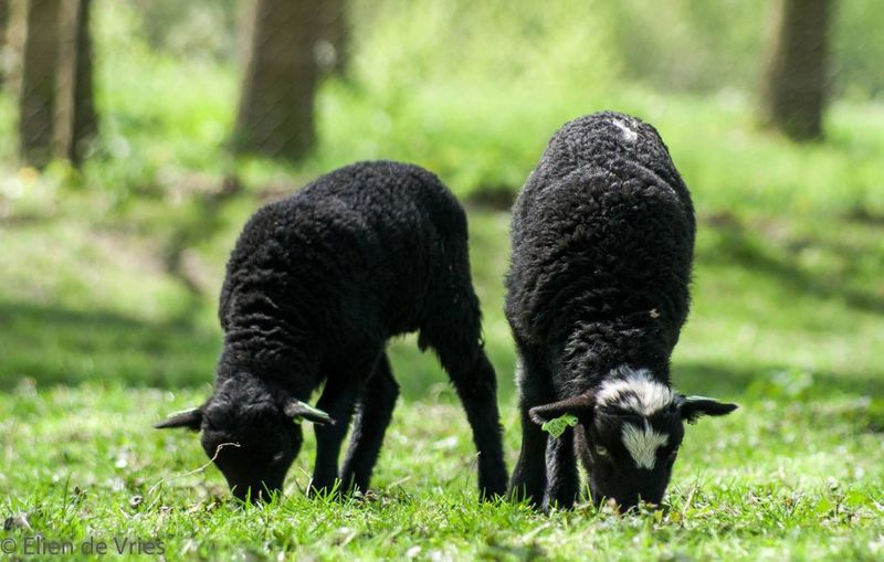 Lamb Sheep Sheeps Farmanimals Animal Schaap Grass Livestock Grazing Focus On Foreground Black Color Outdoors Farm Life Farm Little Livestock Stock Animal Themes Nederland Netherlands