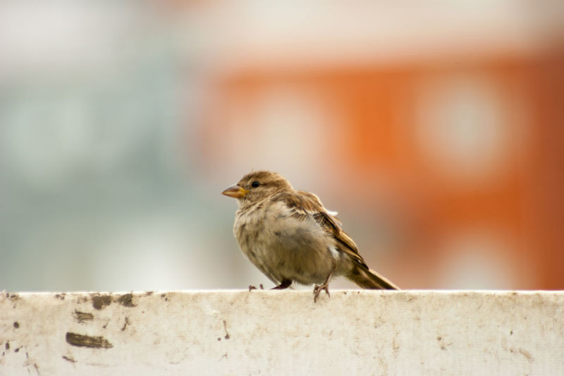 Animal Themes Animal Wildlife Animals In The Wild Bird Close-up Day Focus On Foreground Nature No People One Animal Outdoors Perching Robin Songbird  Sparrow