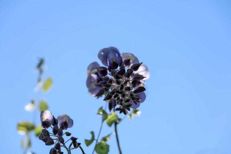 紫藤萝 Flowers