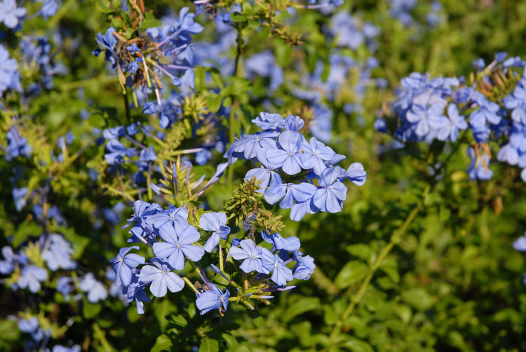 Close-up of blue flowering plant in park