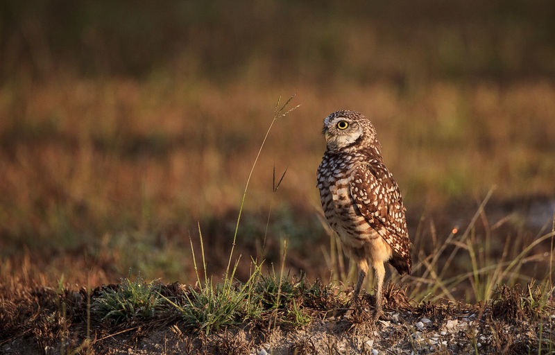 Close-up of owl perching on field
