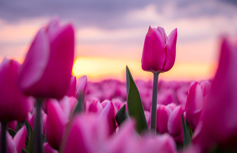 Close-up of pink crocus flowers against sky