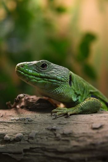 Reptile Iguana Close-up Green Color Chameleon Gecko Lizard Animal Eye Exotic Pets Tropical Rainforest Bearded Dragon Confined Space Animal Head  Cat Namib Desert Animal Skin Camouflage Alligator Animal Tongue Eye Madagascar  Yellow Eyes Animal Scale Hedgehog Ecuador
