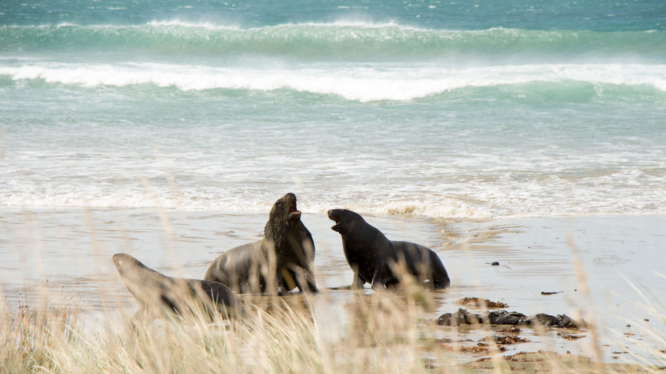 Sea Lions Animal Themes Animals In The Wild Beach Beauty In Nature Day Mammal Motion Nature New Zealand No People Outdoors Roaring Sand Sea Seals Seals On Beach Two Animals Water Wave