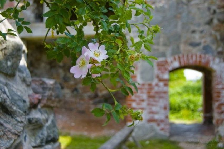 The old castle of Stegeborg outside Norrkoping in sweden. Castle Brick Wall Pink Roses Old Buildings