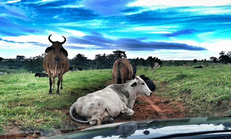 Cows on the Way Farm Life Nature Animals Countryside Going To Work Brazil Penapolis