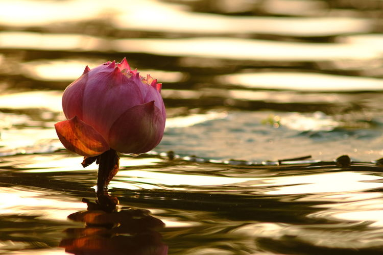 Beauty In Nature Close-up Floating On Water Flower Flower Head Flowering Plant Fragility Freshness Growth Inflorescence Lake Lotus Water Lily Nature No People Petal Pink Color Plant Vulnerability  Water Water Lily