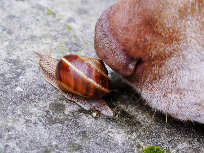 Making a new friend Animal Animal Themes Animal Wildlife Animals In The Wild Big And Small Brown Close-up Dog Domestic Animals Gastropod Interracial Love Mammal Nature Nature On Your Doorstep Nose Old One Animal Pet Snail Snail House Sniff Sniffing Vizsla Vizsla Life Wildlife