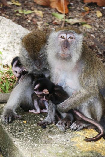 Animal Themes Baby Monkeys Kuantan Mammal Monkey Monkey Family Monkeys And Babie Nature Outdoors Pahang Simian Teluk Cempedak Wild Wild Animals Wildlife Two Is Better Than One
