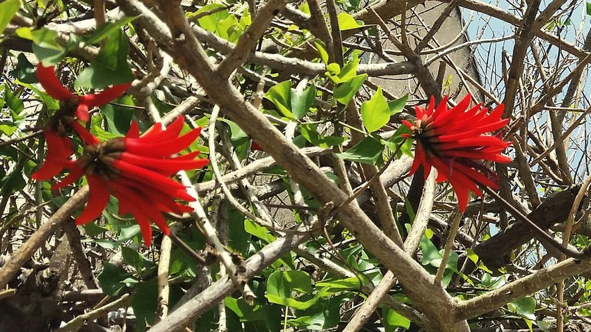 Red Flower Growth Beauty In Nature Petal Fragility Nature Flower Head Freshness Hibiscus Day Blossom Plant No People Blooming Outdoors Close-up Tree