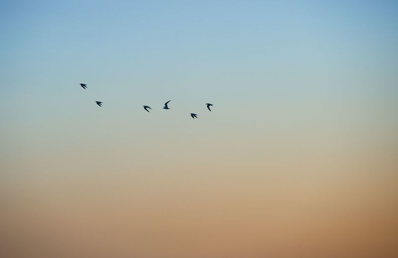 Low angle view of silhouette birds flying against clear orange sky