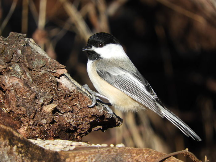 Black Capped Chickadee Chicadee On A Branch Nature Photography Nature Beauty In Nature Peaceful Calm Chicadee Birds Of EyeEm  Bird On A Branch Birds_collection Bird In Nature Bird Photography Bird Watching Bird Perching Close-up Songbird