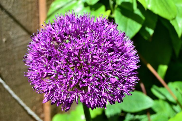 A Giant Purple Allium flower head in full bloom. Flower Flowering Plant Purple Plant Fragility Vulnerability  Beauty In Nature Freshness Close-up Growth Nature Petal Inflorescence Flower Head Day Botany Focus On Foreground Blossom No People Outdoors Springtime Lilac Purple Flower Purple Allium Allium