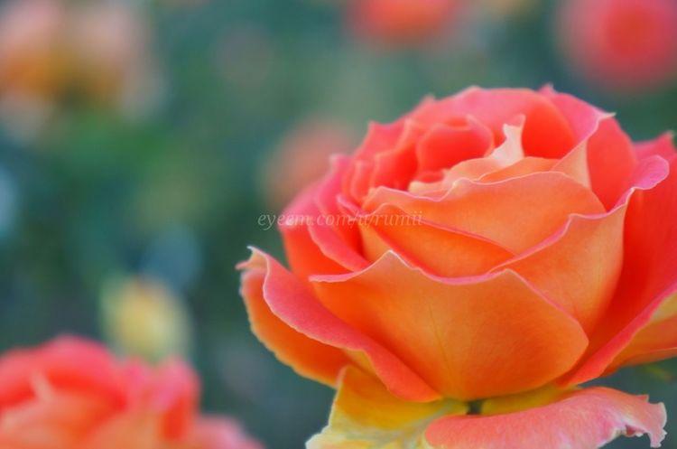 Have a wonderful weekend♥ Macro_collection Macro_flower Macroporn Flowerporn