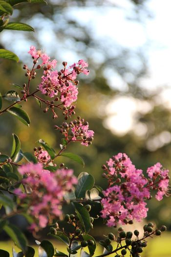 Pink Crape Myrtle tree Life Crape Myrtle Bright Flower Growth Pink Color Fragility Nature Beauty In Nature Petal Plant Outdoors Close-up Flower Head EyeEmNewHere