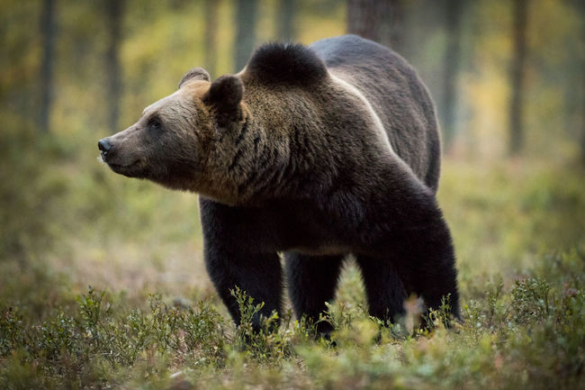 Animal Themes Animal Wildlife Animals In The Wild Bear Brown Bear Day Forest Grass Mammal Nature No People One Animal Outdoors