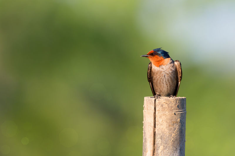 Pacific swallow perching on wooden post
