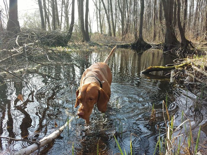 Animal Themes Water Nature No People Taking Photos Naturephotography EyeEm Best Shots Beauty In Nature Outdoors Vizslaoftheday Hungarian Vizsla Ijuma Von Terra Lebusana Dog Of The Day