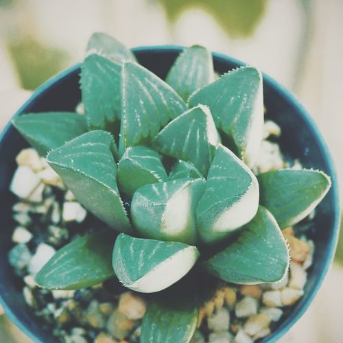 High angle view of succulent plant leaves