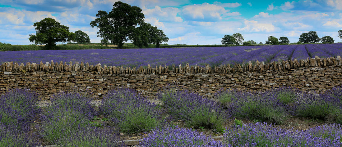 Beauty In Nature Growth Landscape Lavender Colored Lavender Flowers No People Outdoors Plant Tranquil Scene Tranquility