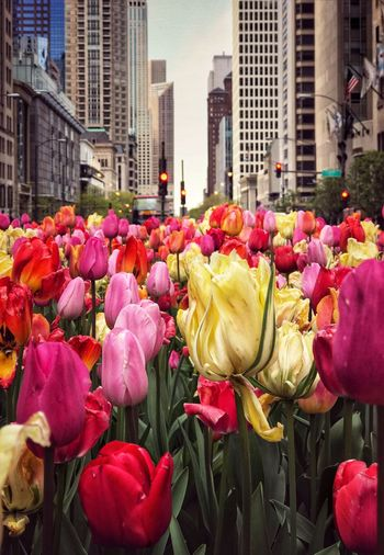 Reminiscing 🌹🌷🌹🌷...the traditional tulips on the Michigan Avenue didn't happen this year, 🤞🏻hopefully next spring will be more kind. Colorsplash Chicago EyeEm Nature Lover EyeEm Photography Photo Outdoors Pretty Past Spring Flowers, Nature And Beauty Middle Of The Road Architecture_collection Architecture Flower Flowering Plant Architecture Building Exterior Built Structure City Plant Beauty In Nature Day Freshness City Life