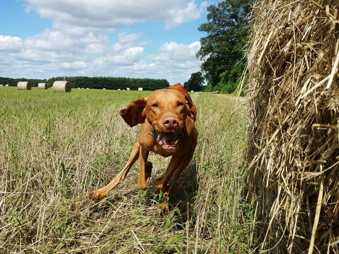 Looking At Camera Ijuma Von Terra Lebusana Vizslaoftheday Vizsla Magyar Vizsla The Week On EyeEm Dog Of The Day One Animal Eyem Nature Lovers  Beauty In Nature