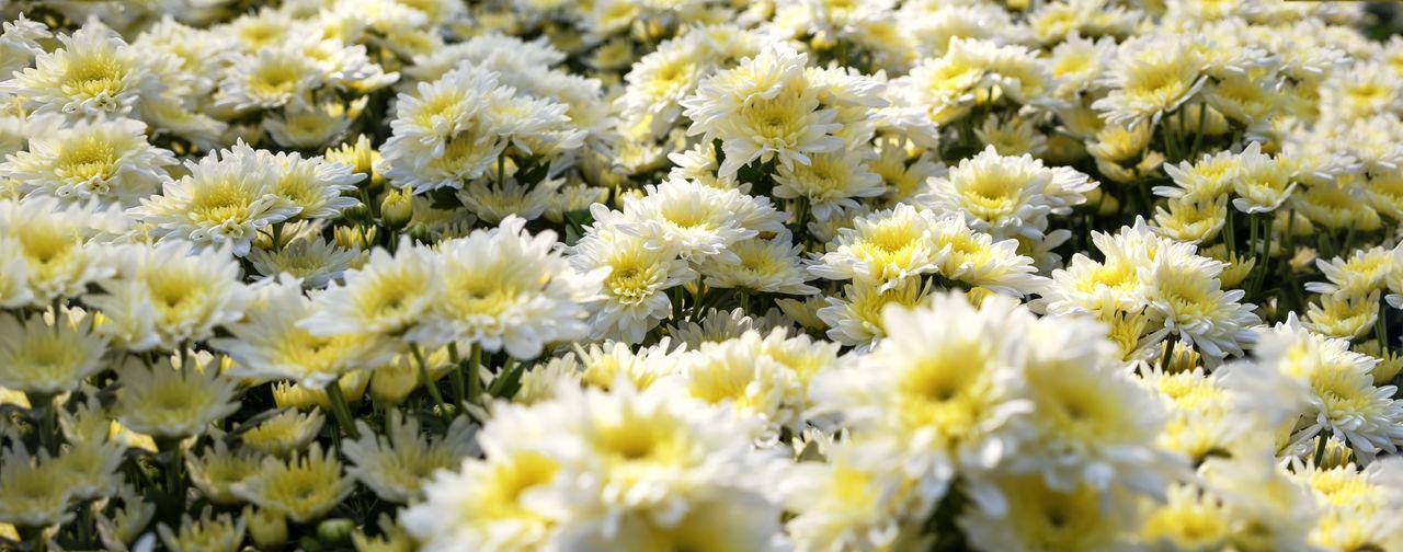 Chrysanthemum flower booming in garden, panoramic flower banner